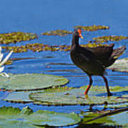 Dusky Moorhen Admiring The Water Lilies Poster