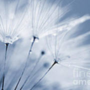 Dusty Blue Dandelion Clock And Water Droplets Poster
