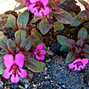 Dwarf Purple Monkeyflower In Lava Beds Nmon-ca Poster