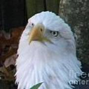 Eagle Head Poster