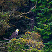 Eagle In Trees  Poster