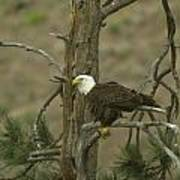 Eagle On A Tree Branch Poster