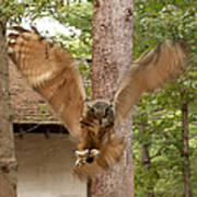 Eagle Owl Makes The Leap Poster