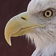 Eagle Portrait Freehand Poster