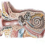 Ear Anatomy Poster