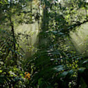 Early Morning Light In The Rain Forest Poster
