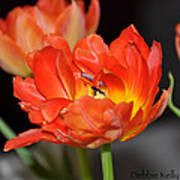 Easter Parrot Tulips Poster