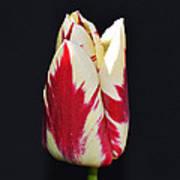 Easter Greetings - Twinkle Tulip Poster