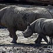 Eastern Black Rhinos Mama N Baby Poster