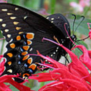 Eastern Black Swallowtail And Bee Balm Poster