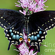 Eastern Black Swallowtail Butterfly Poster