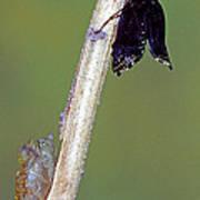 Eastern Black Swallowtail Metamorphosis Poster