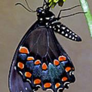 Eastern Black Swallowtail Poster