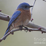 Eastern Blue Bird Poster