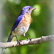 Eastern Bluebird - After His Bath Poster