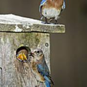 Eastern Bluebird Family Poster