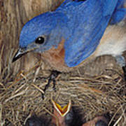 Eastern Bluebird Feeding Its Young Poster by Millard H. Sharp