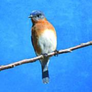 Eastern Bluebird II Poster