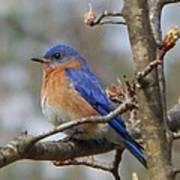 Eastern Bluebird In A Pear Tree Poster