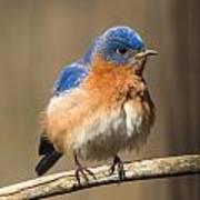Eastern Bluebird Male Ruffled Poster