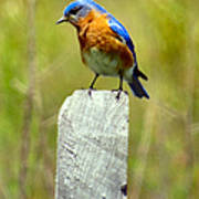 Eastern Bluebird Pose Poster