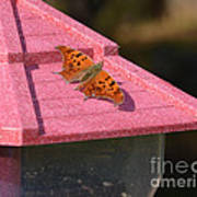 Eastern Comma Butterfly On Bird Feeder  Poster