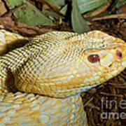 Eastern Diamondback Rattlesnake Albino Poster