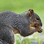 Eastern Fox Squirrel Poster