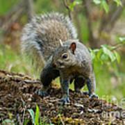 Eastern Gray Squirrel Poster by Linda Freshwaters Arndt