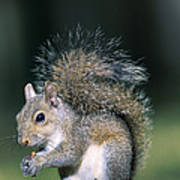 Eastern Gray Squirrel Poster