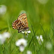 Eastern Pine Elfin Butterfly Poster