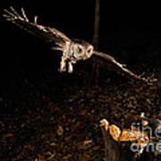Eastern Screech Owl Hunting Poster