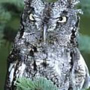 Eastern Screech Owl In Tree Poster