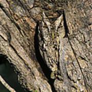 Eastern Screech-owl Otis Asio Wild Texas Poster