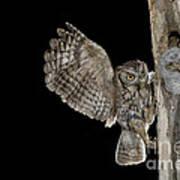 Eastern Screech Owls At Nest Poster