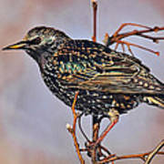 Common Starling Poster