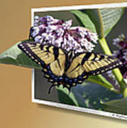 Eastern Tiger Swallow Tail Poster