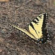 Eastern Tiger Swallowtail 8564 3241 Poster
