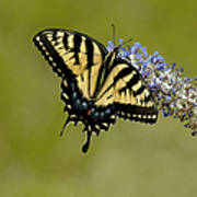 Eastern Tiger Swallowtail On Butterfly Bush Poster