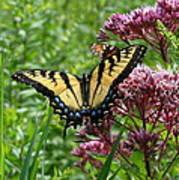 Eastern Tiger Swallowtail On Joe Pye Weed Poster