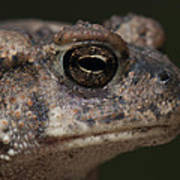 Eastern Toad Detail Poster