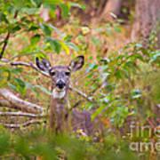 Eastern Whitetail Deer Poster