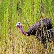 Eastern Wild Turkey - Longbeard Poster