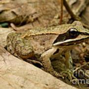 Eastern Wood Frog Poster