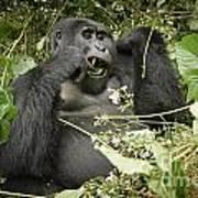 Eating Mountain Gorilla Poster
