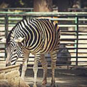 Eating Zebra Poster