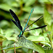 Ebony Jewelwing Poster