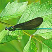 Ebony Jewelwing Damselfly - Calopteryx Maculata Poster