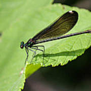 Ebony Jewelwing Damselfly  Poster