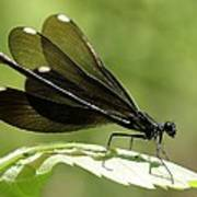 Ebony Jewelwing Fluttering For Male Poster